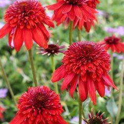 Eccentric Summer Echinacea