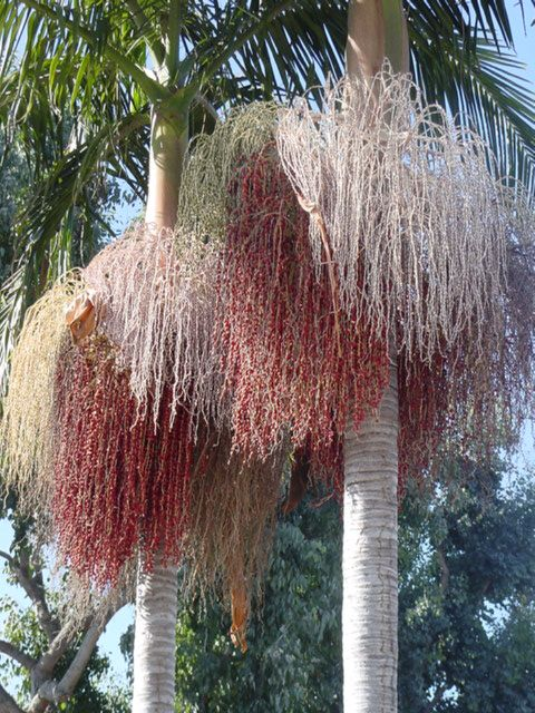 King Palm Tree (Archontophoenix cunninghamiana) ~~ For more: - ✯ http://www.pinterest.com/PinFantasy/flora-~-arboles-trees/