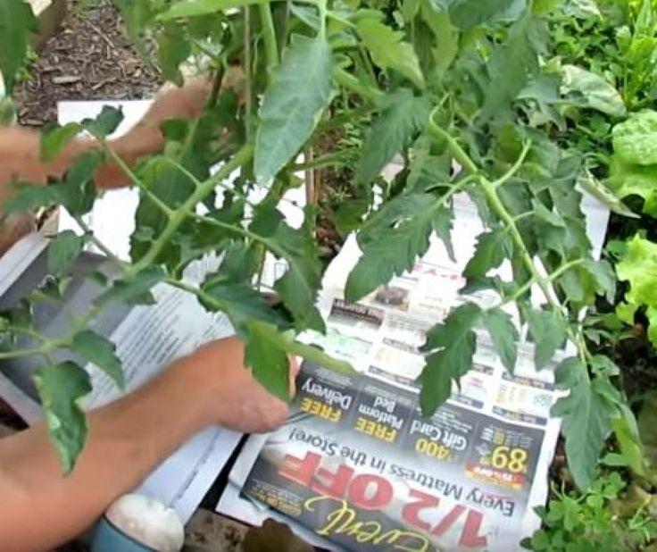 Ajouter du bicarbonate de soude sur vos tomates peut sembler étrange, mais vous serez surpris de ce qu'il pourra accomplir!