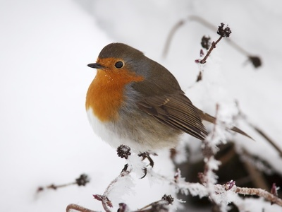 Robin (Erithacus Rubecula), in Snow, United Kingdom, Europe Photographic Print