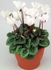Ciclamen, Violeta de Persia, Violetas de los Alpes - Cyclamen persicum