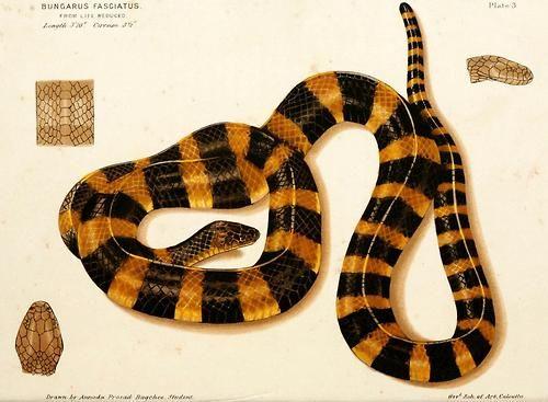 Bungaris fasciatus - Banded Krait. An elapid, and the largest of the kraits. Has neurotoxic venom.
