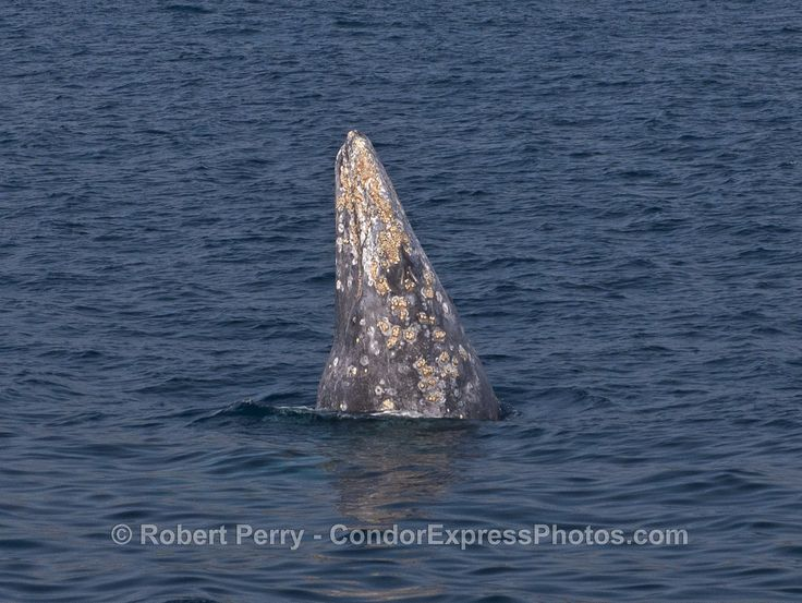 Gray whales and dolphins - http://condorexpress.com/gray-whales-dolphins/
