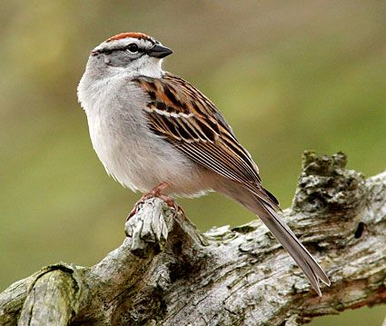 Chipping Sparrow. Red cap on adults. Usually a ground feeder. The Chipping Sparrow is a slender, fairly long-tailed sparrow with a medium-sized bill that is a bit small for a sparrow. Learning the shape of this classic Spizella sparrow is a key step in mastering sparrow identification.