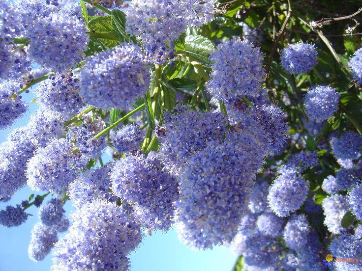 Arbuste fleurs bleues ceanoth arbustes pinterest - Arbuste a fleurs bleues ...