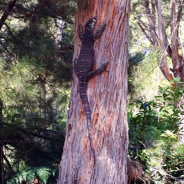 Goanna, Merimbula, NSW
