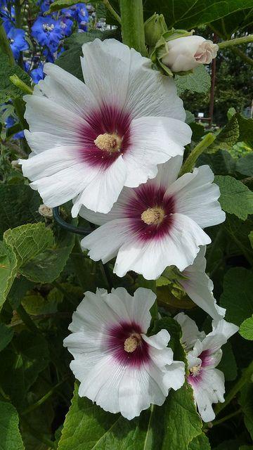 Hollyhock Alcea ~ 'Halo Blossom'