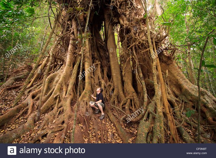 A giant rainforest tree on the shores of Lake Eacham, the Atherton Tablelands, far north Queensland, Australia Stock Photo
