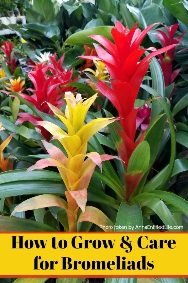 How To Grow And Care For Bromeliads Bromeliads Are Easy To Grow But Compared With An Average House Pl Plant Care Houseplant Indoor Flowering Plants Bromeliads
