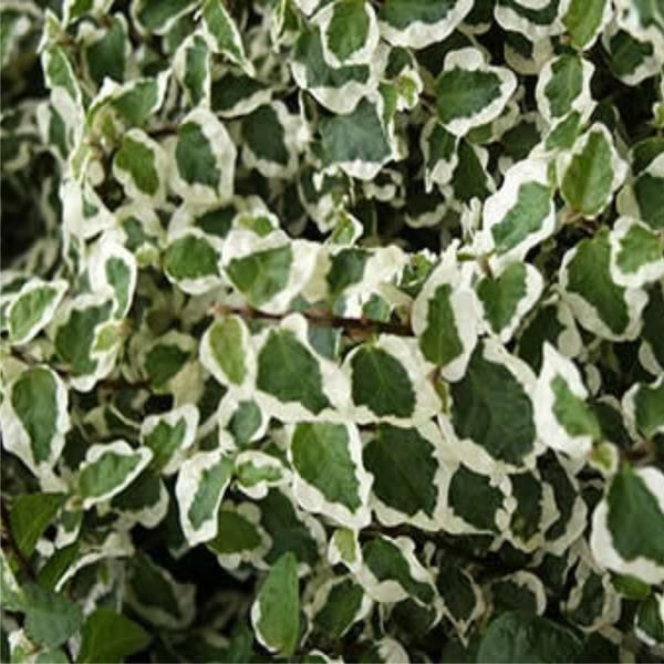 Ficus Pumila Variegated (Creeping Fig) (Climbing Fig)