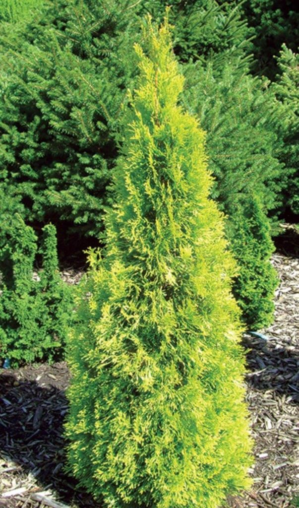 Polar Gold Thuja offers a golden color to enjoy year round. Its dense, finely covered foliage makes it a great choice if you are looking to block the wind. Will reach 12-15 feet and is hardy in zones 3-7.