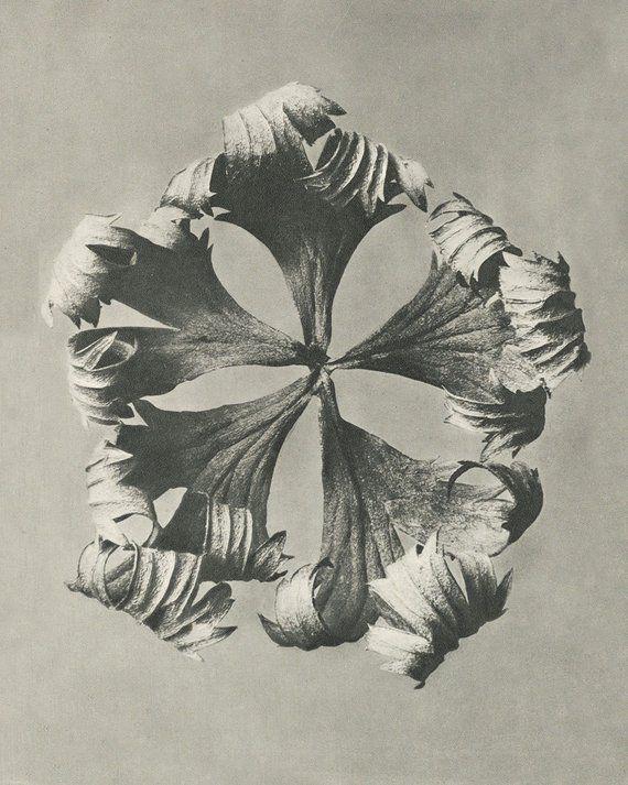 Karl Blossfeldt Botanical Print Minimal Black And White Sepia Etsy Karl Blossfeldt Natural Form Art Art