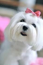 Image result for #maltese face trim   – Train your Dog