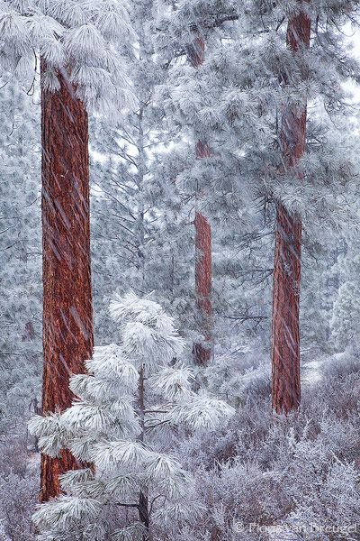 winter, Ponderosa Grove, Deschutes National Forest, outside of Sisters, Oregon.  Photo: Floris van Bruegel