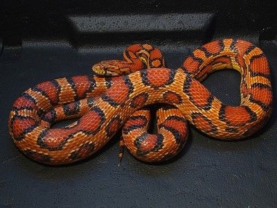 Corn snake - Okeetee phase. This is not a man-made morph, but a naturally occurring variant of the normal phase found in Okeetee, SC. Distinguished by prevalent orange and thick black bands around the saddles.