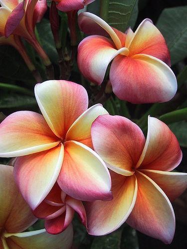 Frangipani. It looks like fairies came and painted every petal.