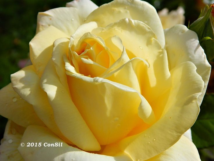 Beautiful Rose - #rose #flower #beautiful -  photo by ConSil Photographie