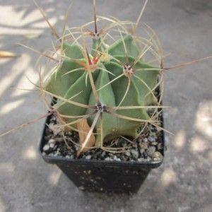 Ferocactus hystrix1