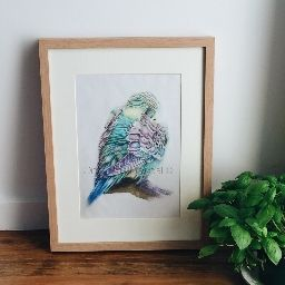 ✖ SHY BUDGIE ✖ Coloured pencil drawing.  Limited edition prints. Individually signed and numbered.  Available for purchase in a range of sizes as a Giclée Fine Art print.