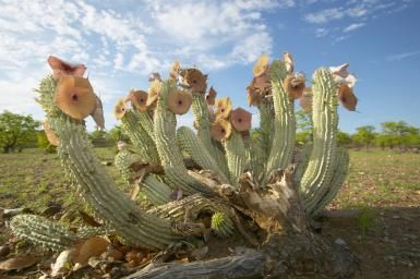 Hoodia Gordonii: Is it Effective for Weight Loss?: Hoodia gordonii plants in their natural habitat.