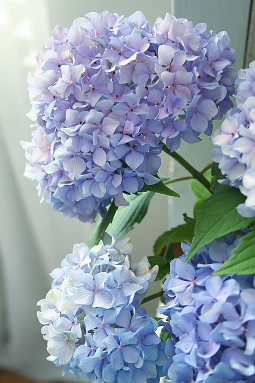 Blue hydrangea macrophylla- clay or loam soil, sheltered, n.e.w facing, all pH, moist but well drained. Deciduous, bushy habit