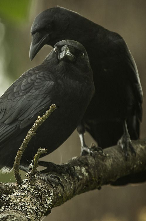 Crows Ravens:  #Crows are rumored to be the bringers of messages from the spirit world and are thought to dwell between the realm of good and evil.