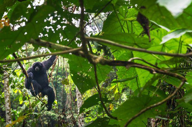 Toujours aussi curieux : le gibbon noir ! Parc National du Gunung Leuser, Sumatra, Indonésie © Clément Racineux / Tonton Photo