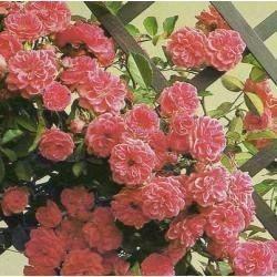 Mudas De Rosas Trepadeiras - R$ 25,00