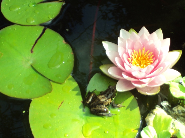 one of my Gorgeous Water lilies in bloom in my pond.....I built it myself