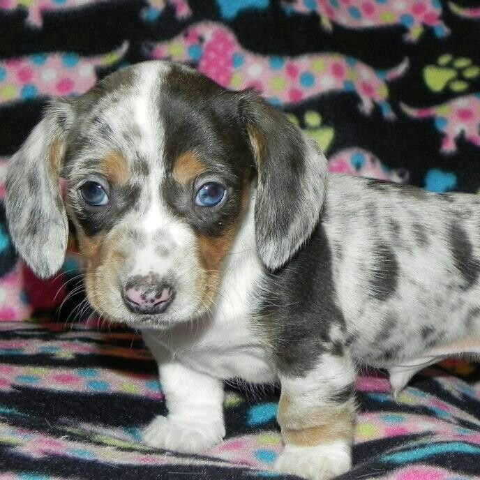 Past black/tan patchwork dapple piebald dachshund puppy http://daminidachshunds.weebly.com