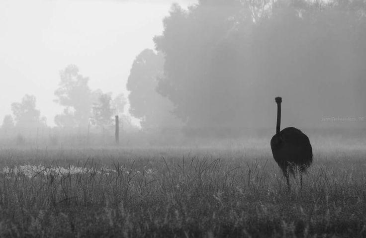 Ostrich in fog  Farm photography Mpumalanga South Africa