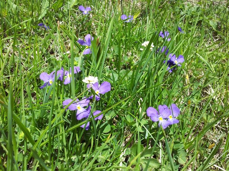 Violette (Maggio - Ayas 1804 mt.)