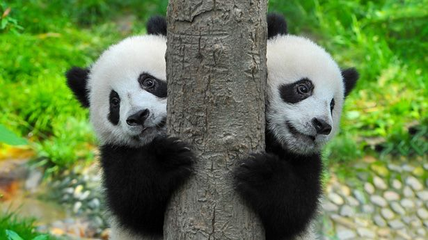 Two adorable Chinese pandas get a new home in Korea's Everland