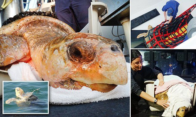 NEW JERSEY... Coast Guard rescues ill 252-pound turtle off DELEWARE that couldn't dive | Daily Mail Online