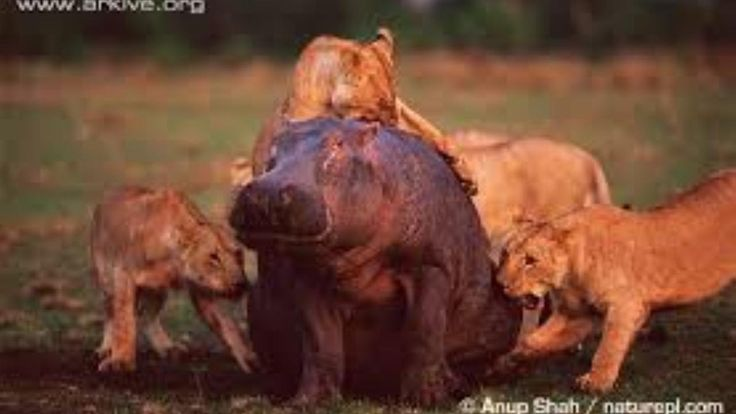 BIg Hippo Under Attack by Group of Lions in Midnight