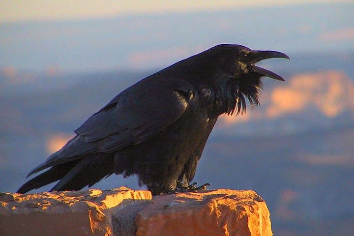 Cultures from Tibet to Greece have seen the raven as a messenger for the gods. Celtic goddesses of warfare often took the form of ravens during battles. The Viking god, Odin, had two ravens, Hugin (thought) and Munin (memory), which flew around the world every day and reported back to Odin every night about what they saw. The Chinese said ravens caused bad weather in the forests to warn people that the gods were going to pass by. And some Native American tribes worshipped the raven as a…