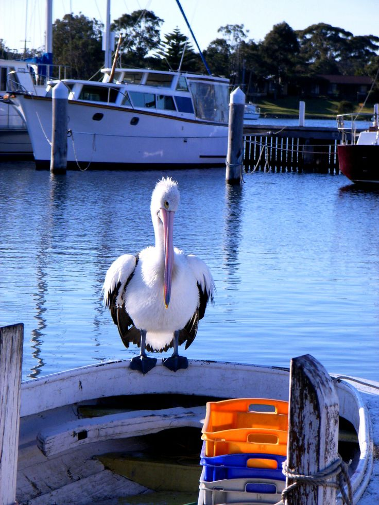 Paynesville Pelican - East Gippsland - Photo by Carin Poeschel-Livingstone