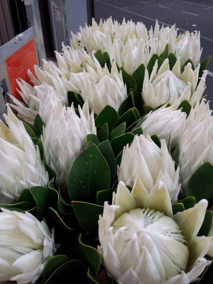 #Protea #WhiteKing; Available at www.barendsen.nl