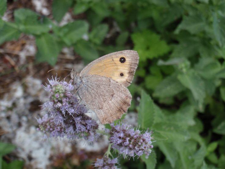 πεταλούδα στο Πάπιγκο