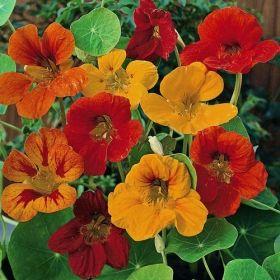 INDIANKRASSE 'Tip Top' i gruppen Ettåriga blomsterväxter / Ampelväxter hos Impecta Fröhandel (8810)