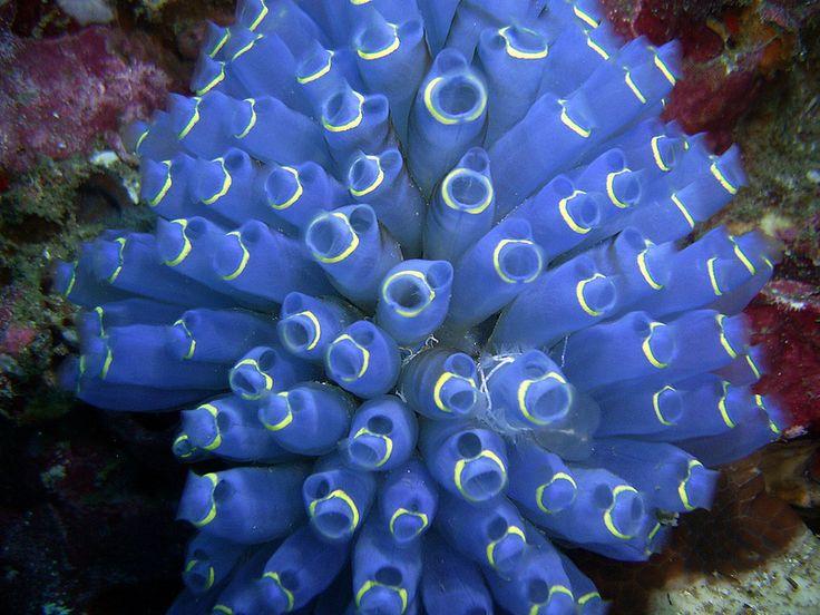 Ko Lipe Diving - Blue sea squirt (Clavelina sp.) - Koh Lipe, Thailand, Tarutao National Marine Park   by Ko Lipe Diving