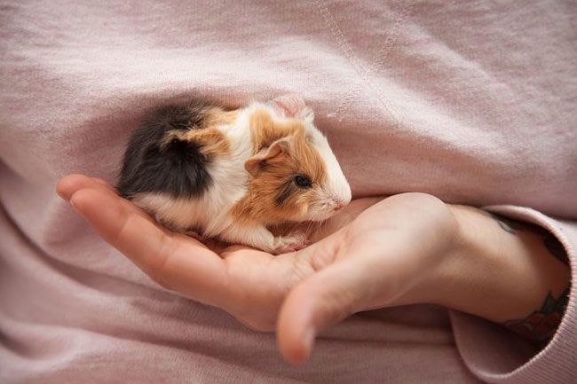 Pin On About Guinea Pig