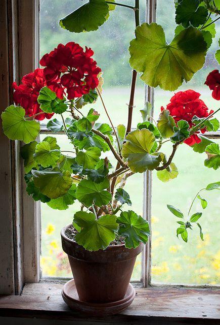 pagewoman:Geraniums byJohn Bald