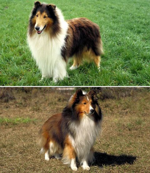 "Do these pups look familiar? Yep, they're both spitting images of Lassie, who was played by a rough collie on the eponymous TV show. These dogs' tri-colored coats make them look almost indistinguishable. Peterson says a closer look reveals that collies (top) are bigger (they weigh over 20 pounds more, on average) with longer muzzles and legs. Personality-wise, collies are far from ""rough."" In fact, they're calmer than the energetic sheepdog (bottom), says Dr. Collier."