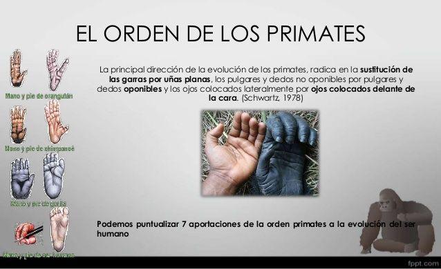 Nosotros no surgimos directamente de los monos. El mono y el ser humano tienen un tronco común: los primates.  En la actualidad, se considera que el humano evolucionó de una línea directa de los primates, se afirma que humanos y algunos primates tenemos un antepasado común que fue cambiando durante millones de años. Compartimos con ellos varias características que no tienen otros mamíferos, como uñas planas en los dedos en lugar de garras, manos, el dedo pulgar oponible a los demás.