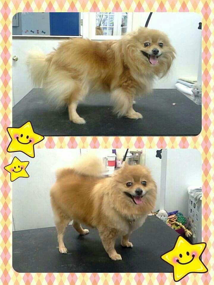 Pomeranian Trim - www.pawplay4dogs.com                                                                                                                                                     More