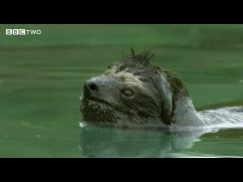 Endangered Pygmy Three-Toed Sloth (video of Sloth swimming)