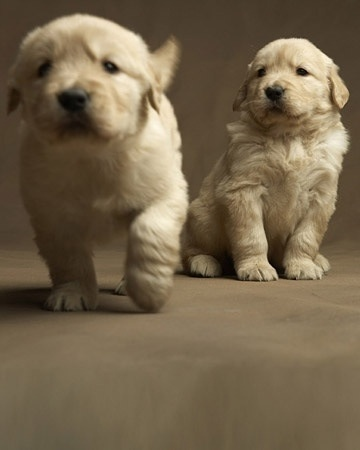 how to take care of a golden retriever puppy wikihow