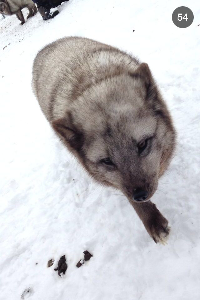 Arctic fox grey. Picture is taken by me on Langedrag