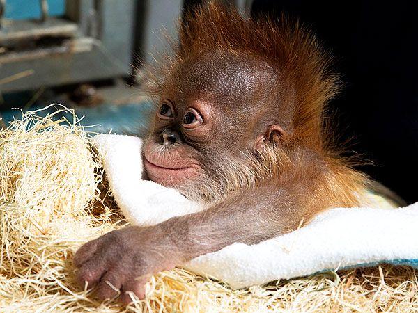 Baby Orangutan (that smile)